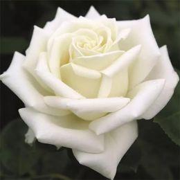 Роза Polarstern фото