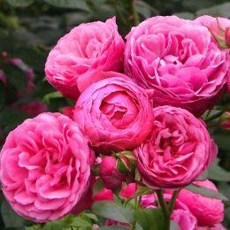 Роза Pomponella фото