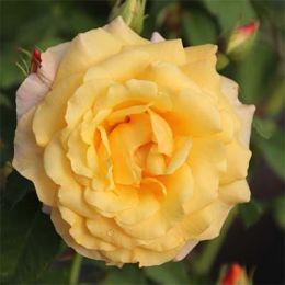 Роза Postillion фото