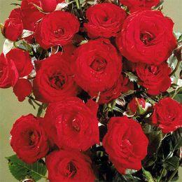 Роза Scarlet Hit фото