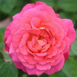 Роза Star of the Nile фото