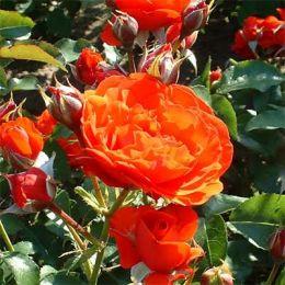 Роза Trumpeter фото