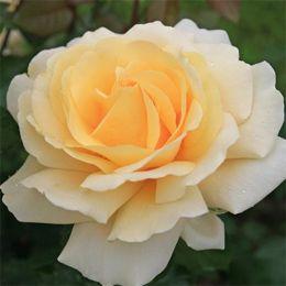 Роза Winter Sun фото