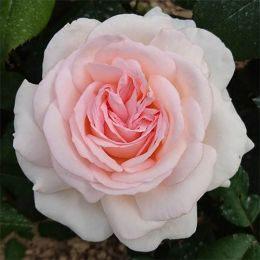 Роза Gruaud Larose фото