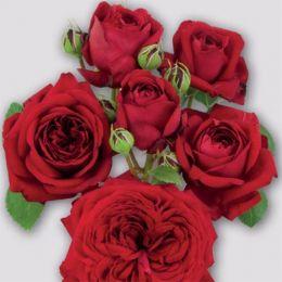 Роза Red Romanza фото