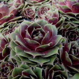 Каменная роза Old Rose фото