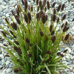 Сеслерия черноцветковая фото