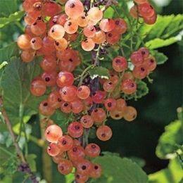 Смородина розовая Россошанская  фото