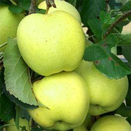 Яблоня Снежный Кальвиль фото