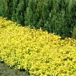 Спирея Golden Carpet фото