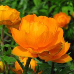 Купальница Orange Princess фото