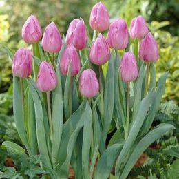 Тюльпан Aafke фото