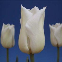 Тюльпан Agrass White фото