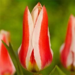 Тюльпан Buddy фото
