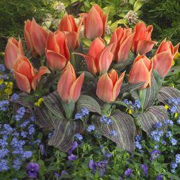 Тюльпан Calypso фото