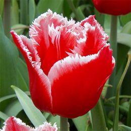 Тюльпан Canasta фото