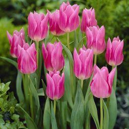 Тюльпан China Pink фото