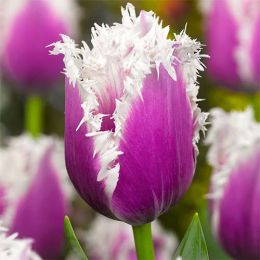 Тюльпан Сummins фото