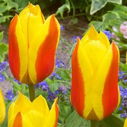 Тюльпан First Love фото