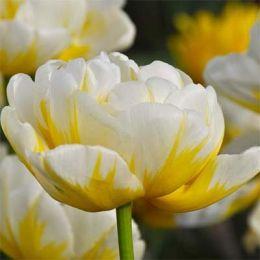 Тюльпан Flaming Evita фото
