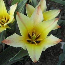 Тюльпан Golden Day фото