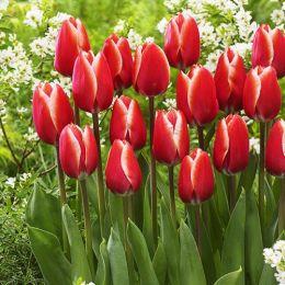 Тюльпан Kelly фото