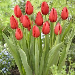 Тюльпан Kingsblood фото