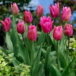 Тюльпан Lilyrosa фото