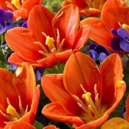 Тюльпан Love Song фото