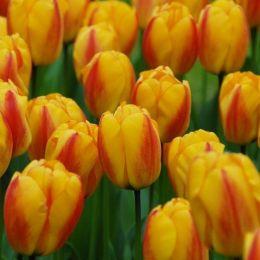 Тюльпан Oxford Wonder фото