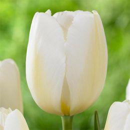 Тюльпан Pays Bas фото