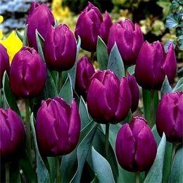 Тюльпан Purple Prince фото