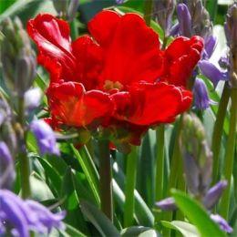 Тюльпан Rococo фото