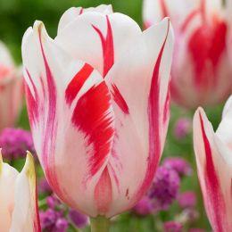 Тюльпан Sorbet фото