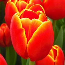 Тюльпан Verandi 50 фото