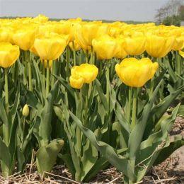 Тюльпан Yellow Angel фото