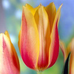 Тюльпан Blushing Beauty фото