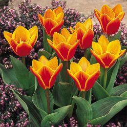 Тюльпан Early Harvest фото