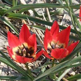 Тюльпан Hageri  фото