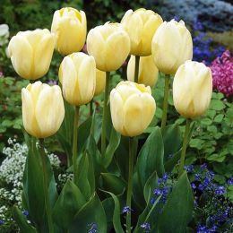 Тюльпан Ivory Floradale фото