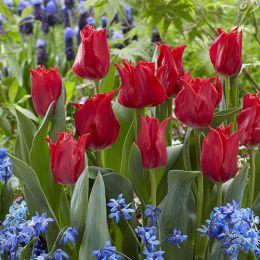 Тюльпан Pretty Woman фото