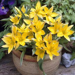 Тюльпан Urumiensis фото