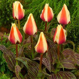 Тюльпан Donna Bella фото
