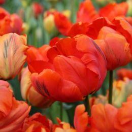 Тюльпан Flower Power фото