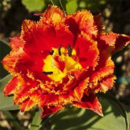 Тюльпан Fringed Beauty фото