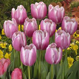 Тюльпан Jumbo Beauty фото