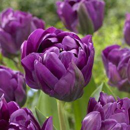 Тюльпан Negrita Double 50 фото