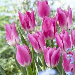 Тюльпан Royal Ten фото