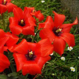 Тюльпан Linifolia фото