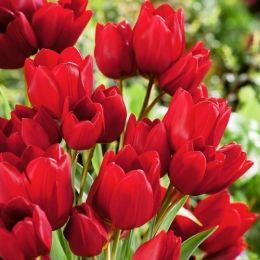 Тюльпан Red Georgette фото